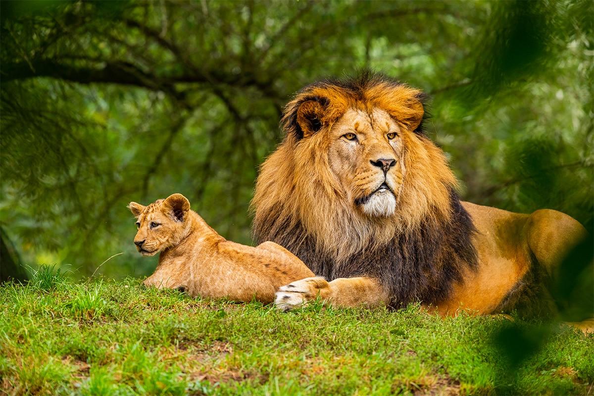 Een leeuwin met haar puppy in het gras onder de bomen